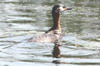 Red-necked Grebe (Podiceps grisegena) - Romania