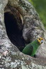 Yellow-fronted Parrot (Poicephalus flavifrons) - Ethiopia