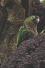 Conure aztèque (Eupsittula astec) - Mexique