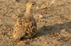 Chestnut-bellied Sandgrouse (Pterocles exustus) - Ethiopia