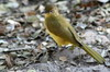 Yellow-bellied Greenbul (Chlorocichla flaviventris) - Namibia