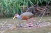 Grey-necked Wood-rail (Aramides cajaneus) - Mexico