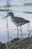 Common Greenshank (Tringa nebularia) - Ethiopia