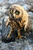 Short-eared Owl (Asio flammeus) - Galapagos Islands