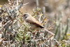Common Whitethroat (Sylvia communis) - Morocco