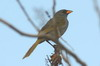 Great Pampa-finch (Embernagra platensis) - Argentina