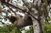Brown-throated Three-toed Sloth (Bradypus variegatus) - Panama
