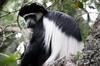 Mantled Guereza (Colobus guereza) - Kenya