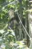 Red-tailed Monkey (Cercopithecus ascanius) - Kenya